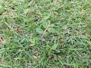 芝生に生えたコニシキソウ。