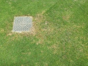 芝生の病気(?)。
