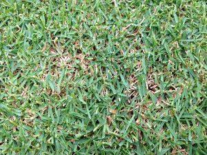 芝生の隙間の茶色いサッチ。