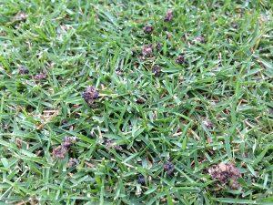 芝生の上のイデコンポの粒。