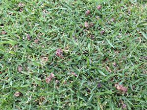 芝生の上のコンポの粒。