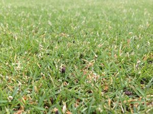 2016年7月9日の朝の小雨の裏庭の芝生。近接撮影。