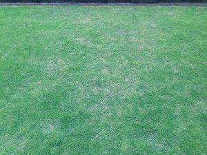 芝生の調子の悪い箇所。