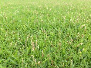伸びた芝生とTM9の穂。