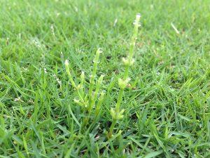 芝生に生えたスギナ。