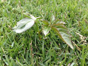 芝生の上のヤブガラシ。