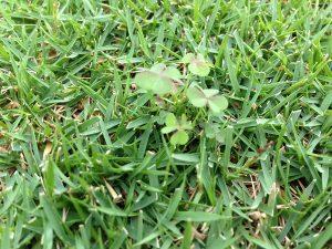 芝生の上のカタバミ。