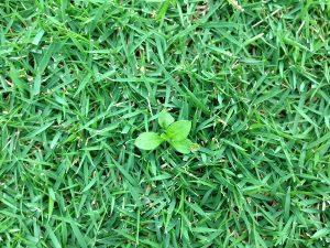 芝生の上のロゼッタ。