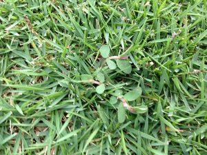 芝生の上のコニシキソウ。