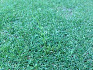芝生の上のスギナ。