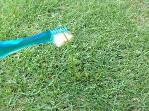スギナに歯ブラシでMCPPを塗布。