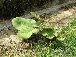 芝生の際に生えたヤブガラシ。