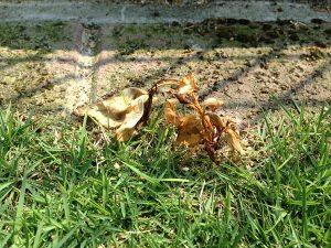 芝生の際の枯れたヤブガラシ。