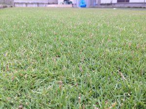2016年8月15日の朝の芝生。