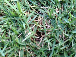 庭の中央付近の芝生。所どころ少し色の悪い箇所。近くで見るとサッチがある。
