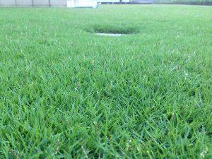 2016年8月17日の朝5:30の裏庭の芝生。かなり低めの目線。