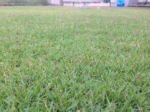 2016年8月18日の朝の裏庭の芝生。かなり低めの目線。