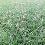 芝生の近接撮影。TM9の穂が伸びている。