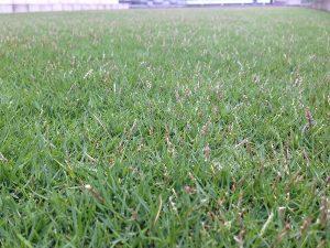 2016年8月21日の朝の裏庭の芝生。芝刈り前。かなり低めの目線。