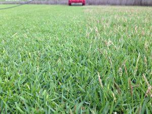 芝刈り中。半分刈られたTM9の穂。