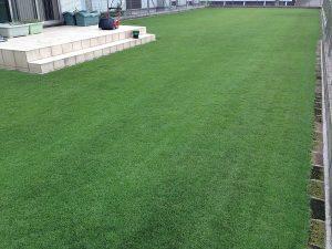 スーパーグリーンフードの散布で黒くなった芝生。