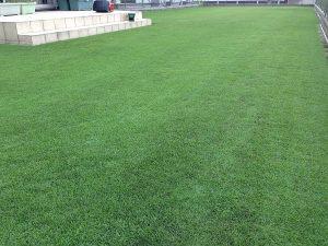 スーパーグリーンフードの散布で黒くなった芝生。少し低めの目線。