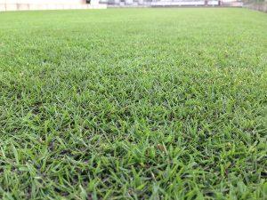 スーパーグリーンフードの散布で黒くなった芝生。かなり低めの目線。