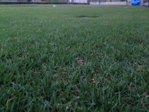 2016年8月23日の朝のまだ薄暗い裏庭の芝生。かなり低めの目線。