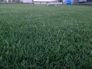 2016年8月24日の早朝のまだ薄暗い裏庭の芝生。かなり低めの目線。