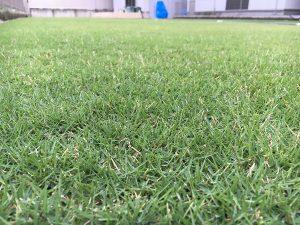 2016年8月26日の朝の裏庭の芝生。かなり低めの目線。
