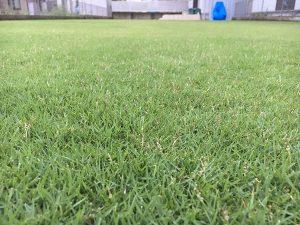 2016年8月27日の雨降り後の朝の芝生。かなり低めの目線。