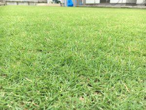 2016年8月27日の昼の裏庭の芝生。かなり低めの目線。