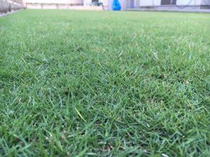 2016年8月28日の朝の裏庭の芝生。かなり低めの目線。