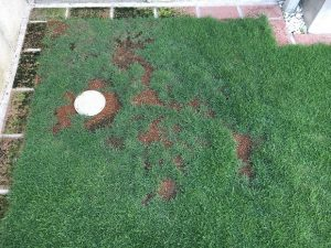 うすい栓の周りの芝生が枯れていた箇所。