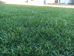 2016年8月31日の朝の裏庭の芝生。かなり低めの目線。