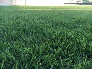 2016年8月31日の午後の裏庭の芝生。かなり低めの目線。