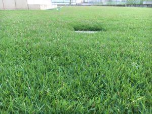 2016年9月6日の朝の裏庭の芝生。かなり低めの目線。