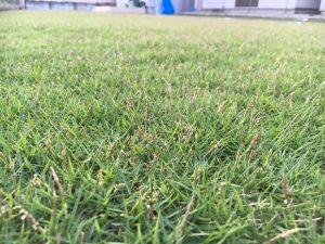 2016年9月9日の夕方の裏庭の芝生。かなり低めの目線。