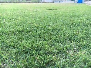 2016年9月9日の夕方の裏庭の芝生。少し低めの目線。