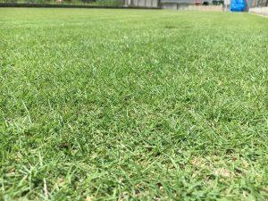芝刈り(or 穂刈り?)終了後の芝生。かなり低めの目線。