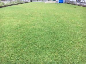 2016年9月14日の朝の裏庭の芝生。少し低めの目線。