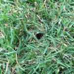 芝生に空いた穴。