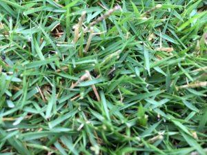 芝生の隙間に入り込んだ万緑-NHTの丸くて小さな黒い粒。