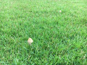 芝生に生えたキノコ。