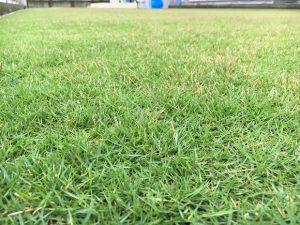 2016年10月1日の朝の小雨のなかの裏庭の芝生。かなり低めの目線。