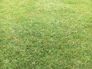 芝生の一部だけ異なる穂が出ている箇所。