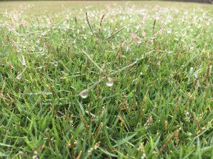 アンテナのような形の芝生の穂。