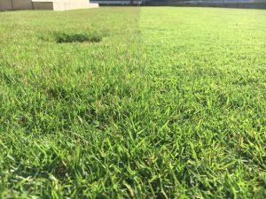 2016年10月2日の朝の芝生。芝刈りの途中。