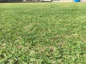 2016年10月2日の芝刈りの後の裏庭の芝生。かなり低めの目線。