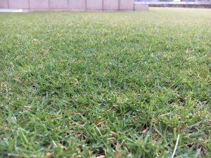 2016年10月18日の朝の裏庭の芝生。かなり低めの目線。